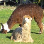 Free:  Carolina Alpaca Celebration