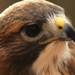 Moms: free admission to Carolina Raptor Center on Mother's Day
