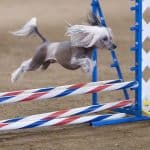 Free: dog agility show in Concord
