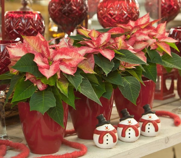 Free Christmas Garden Party At Pike Nurseries