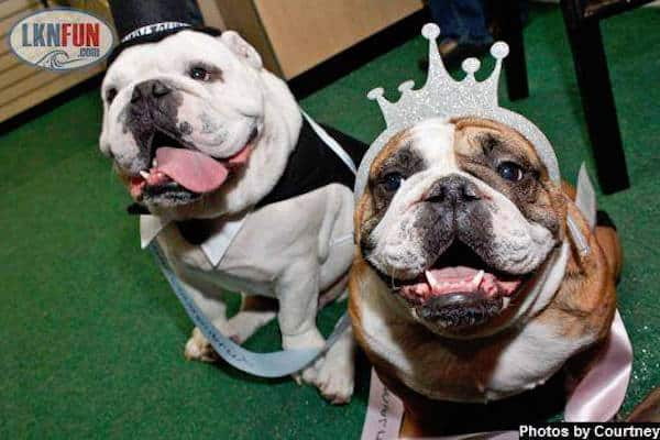 bulldog-beauty-pageant